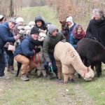 Vakantie 2021- dierenplezier - wandelen met alpaca's